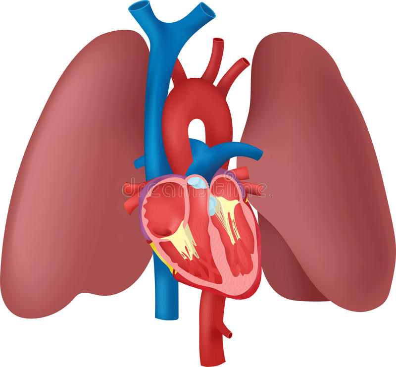 493 Lung free clipart.