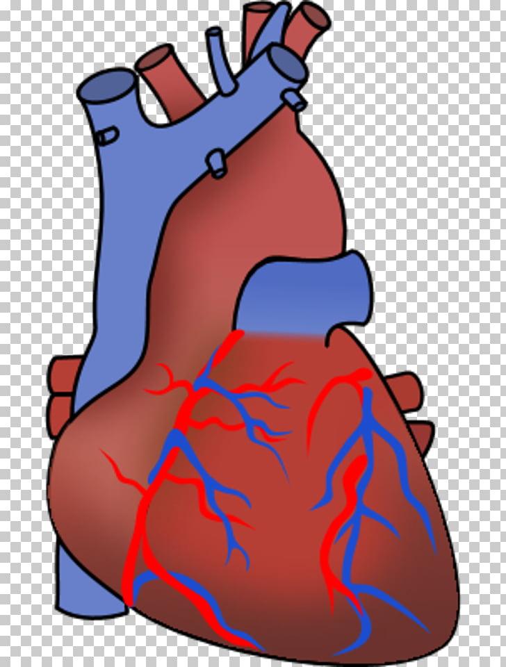 Heart Organ Anatomy , Human Heart PNG clipart.