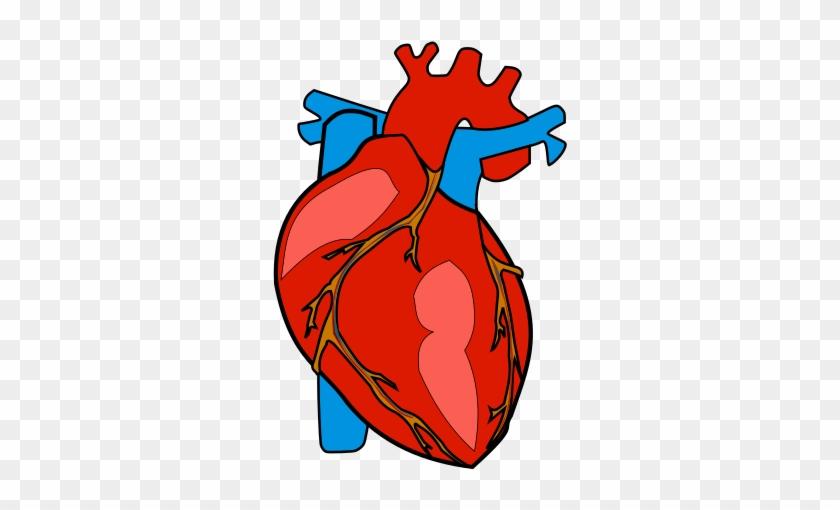 Human Body Heart Anatomy Organ.