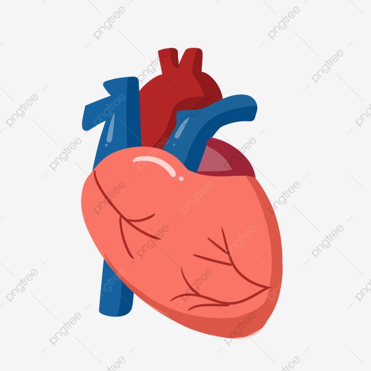 Heart Schematic Human Organs, Heart Clipart, Human Body, Body PNG.