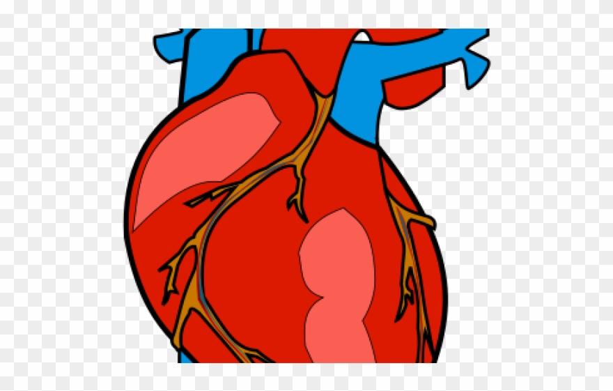 Organs Clipart Biological Heart.