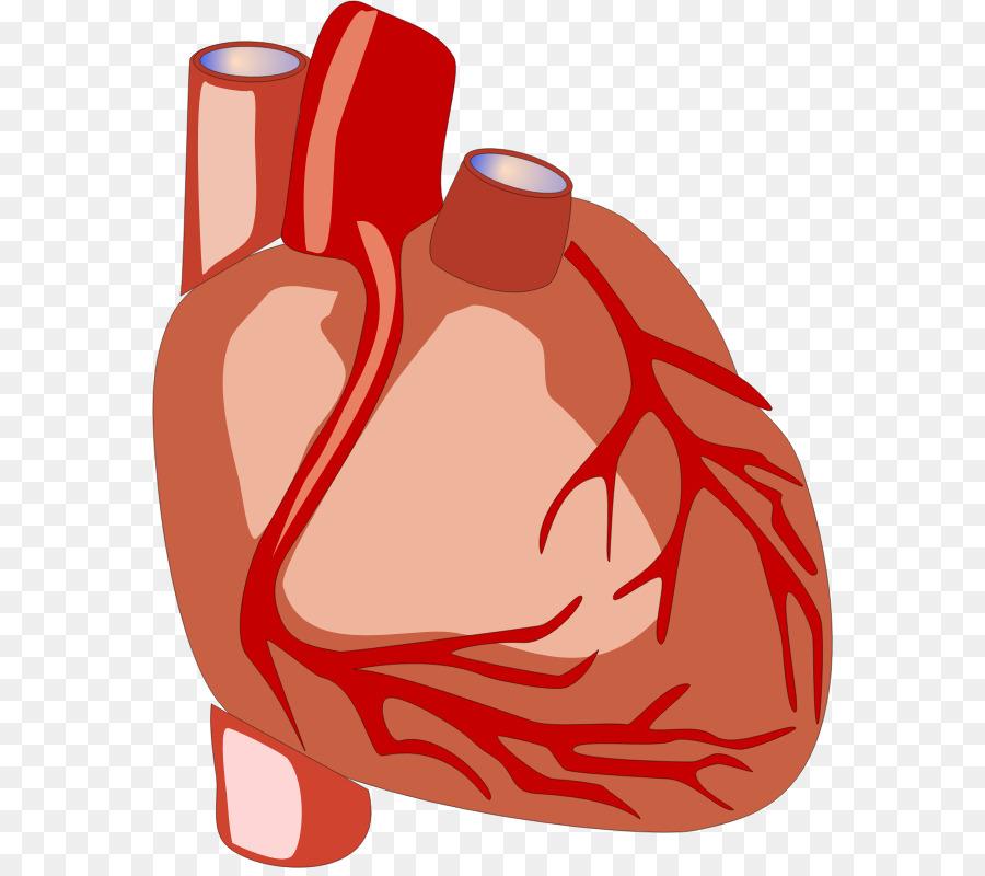 Heart organ clipart 7 » Clipart Station.