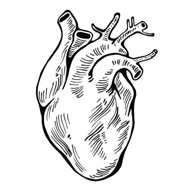 Best Human Heart Illustrations, Royalty.
