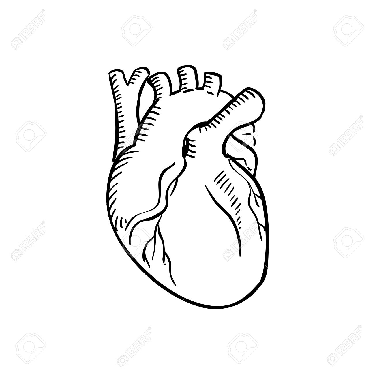 Human heart outline sketch. Isolated anatomical detailed organ...