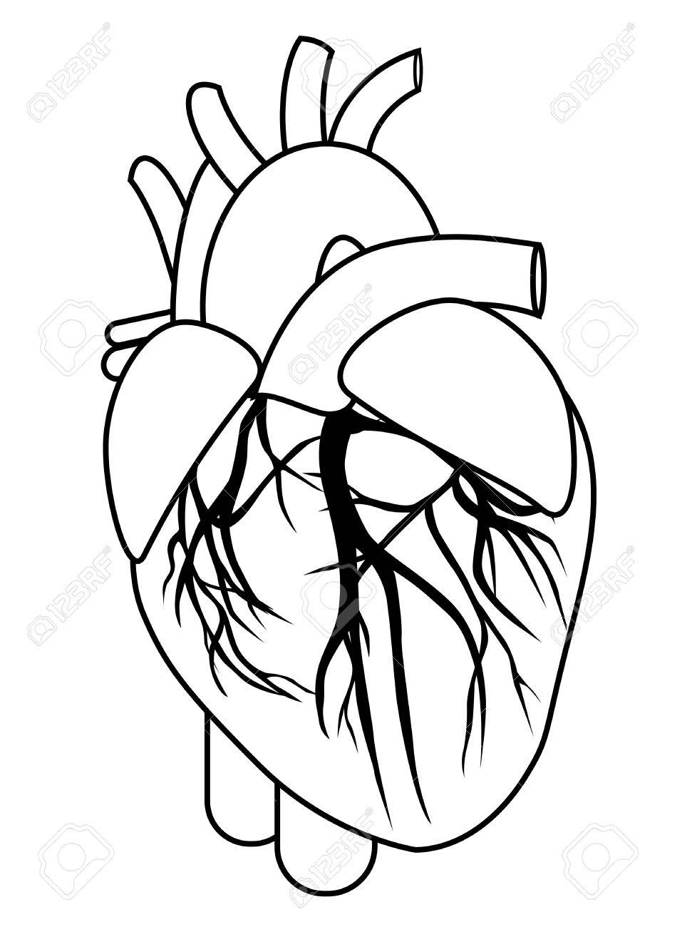 Human heart anatomy from a healthy body isolated on white background...