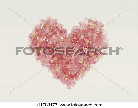 Picture of Pink sweet pea petals arranged in a heart u11788177.