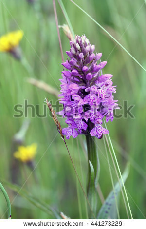 Dactylorhiza Maculata Stock Photos, Royalty.