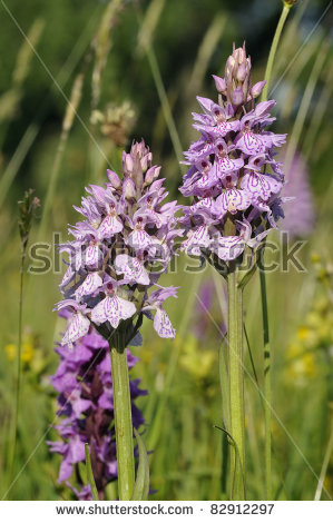 Spotted Orchid Stock Images, Royalty.