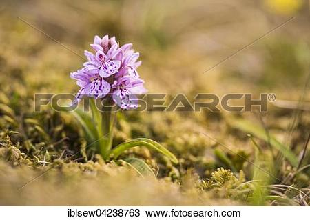 Stock Photo of Heath spotted orchid (Dactylorhiza maculata), Fair.