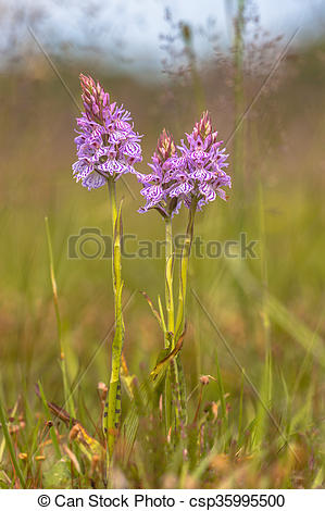 Stock Photography of Wild heath spotted.