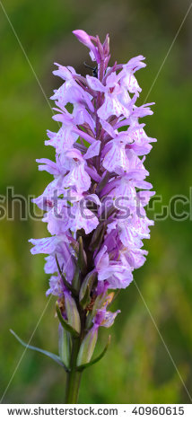 Spotted Orchid Stock Photos, Royalty.