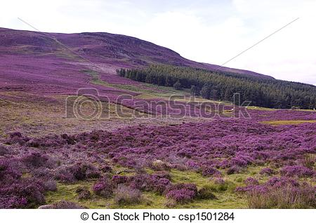 Stock Photo of Field of Heather.