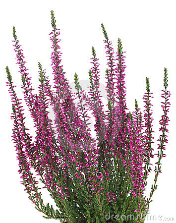 Purple Heather Stock Photos, Images, & Pictures.