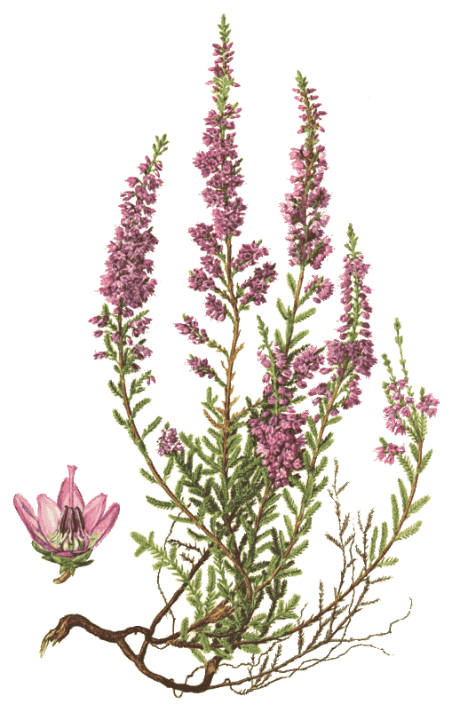 Heather Png & Free Heather.png Transparent Images #14204.