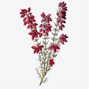 Hydrangea Clipart Heather Flower.