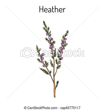Heather calluna vulgaris branch with leaves and flowers.