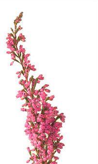 Heather flower clipart.