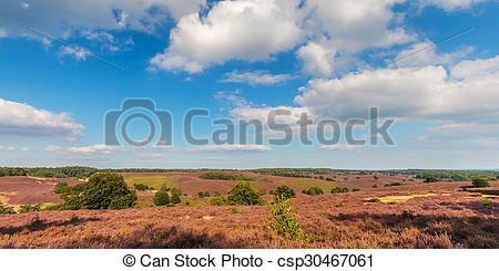 Stock Image of Panoramic image of blooming heathland at the Veluwe.