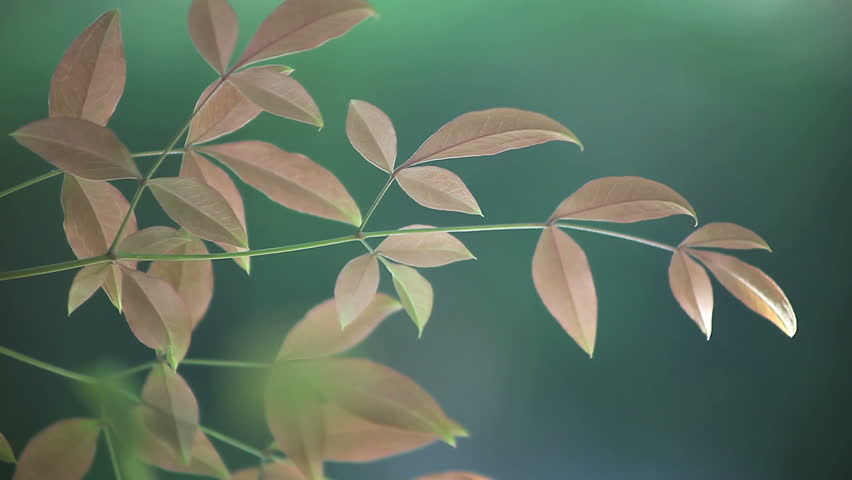 Dark Green Leaves Of A Nandina Or Heavenly Bamboo Plant Stock.
