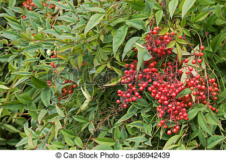 Stock Photos of Sacred bamboo with red berries also known as.
