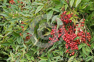 Heavenly Bamboo Berries Stock Photo.