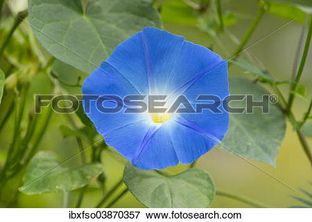 "Picture of ""Heavenly Blue Morning Glory (Ipomoea tricolor."