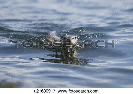 Picture of Eurasian river otter (Lutra lutra). Hebrides, Scotland.