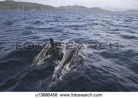 Pictures of Common dolphin (Delphinus delphis). Hebrides, Scotland.