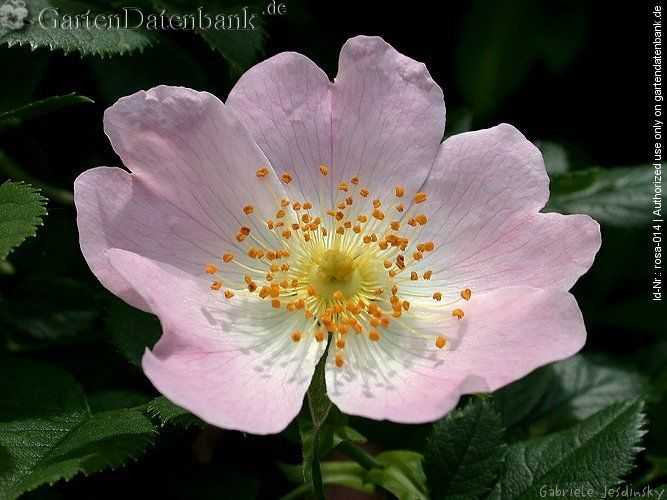 1000+ ideas about Heckenrose on Pinterest.