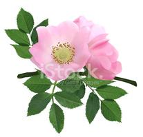 Blüten Der Heckenrose stock.