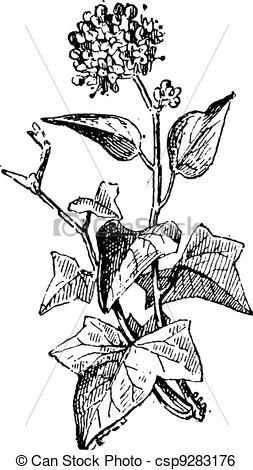 Clip Art Vector of Ivy or Hedera sp., vintage engraving.