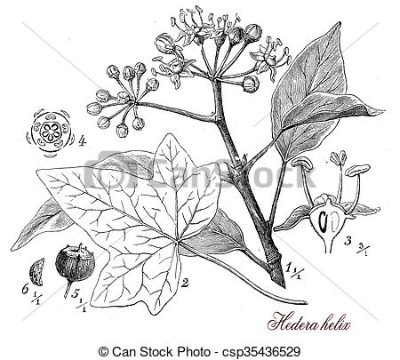 Hedera Clip Art and Stock Illustrations. 27 Hedera EPS.