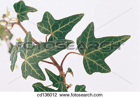 Stock Photo of English Ivy (Hedera helix) cd136012.