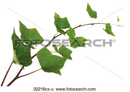 Stock Images of Ivy leaves, Hedera helix 02216cs.