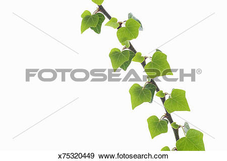Stock Photograph of Common Ivy Hedera helix branch with leaves.