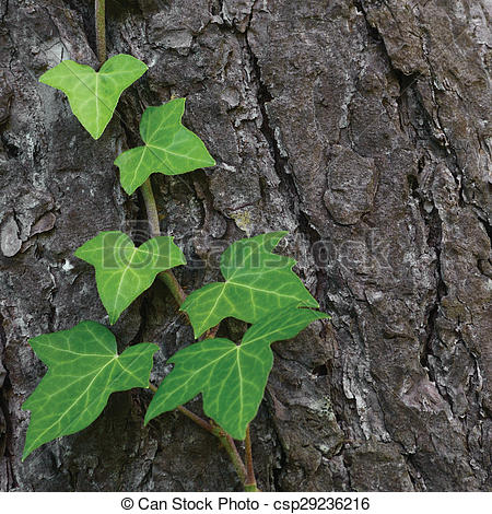Stock Photography of Climbing common Baltic ivy stem, hedera helix.