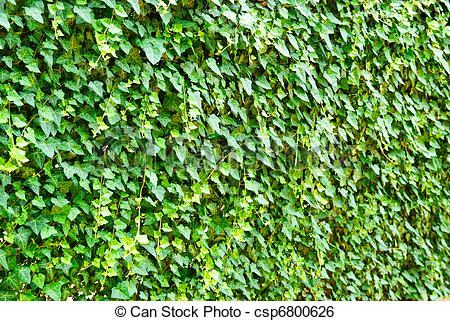 Stock Image of Wall of the leaves. Ivy (Hedera helix) csp6800626.