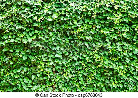 Hedera helix Images and Stock Photos. 273 Hedera helix photography.