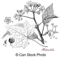 Hedera helix Clip Art and Stock Illustrations. 6 Hedera helix EPS.
