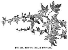 Hedera Helix, ivy clip art, botanical engraving, black and white.