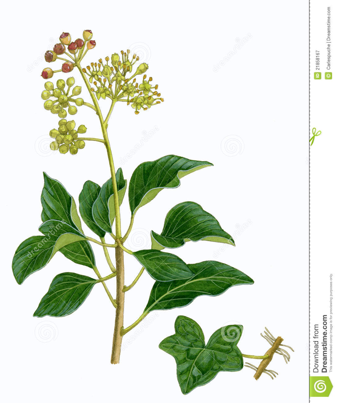 Common Ivy Sprig (Hedera Helix) Royalty Free Stock Photography.