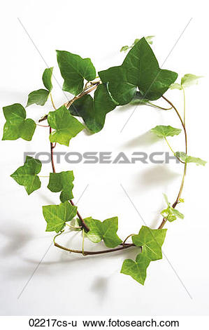 Stock Images of Ivy leaves, Hedera helix 02217cs.
