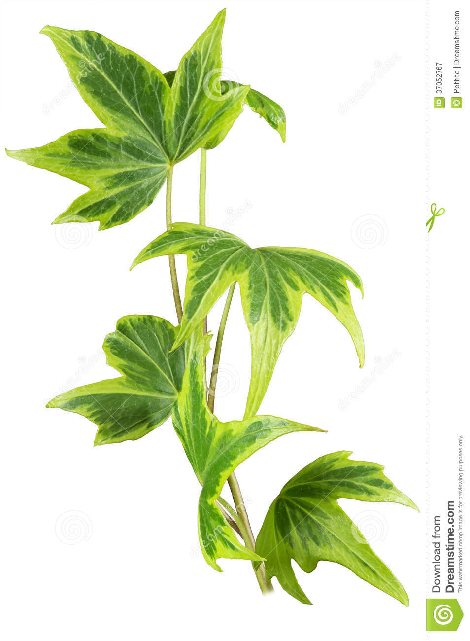 Ivy Plant Hedera Helix Yellow Ripple Royalty Free Stock.