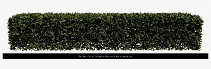 Hedge Bush Png.