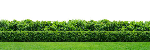 Green Hedge Stock Photo.