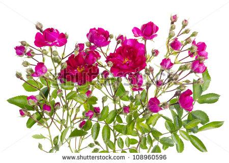Mini Rose Stock Photos, Royalty.
