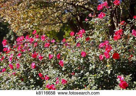Pictures of Hedge of Red Roses on Green Shrub k8116658.