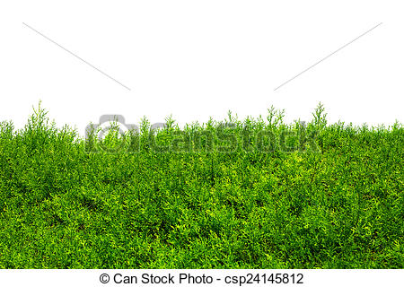 Stock Photography of Green Hedge of Thuja Trees (cypress, juniper.
