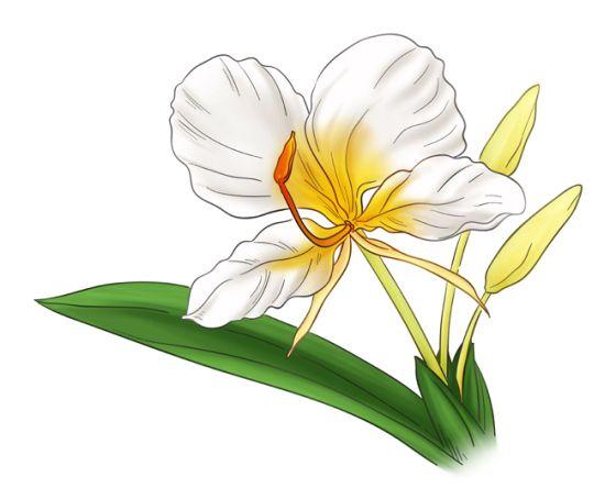 Scientific name: Hedychium coronarium.