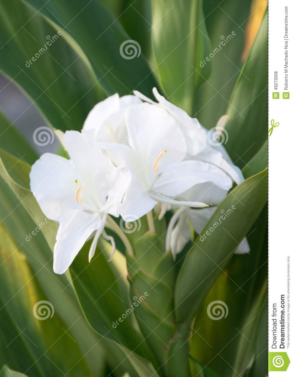 White Ginger Or Mariposa, Cuban National Flower Stock Photo.